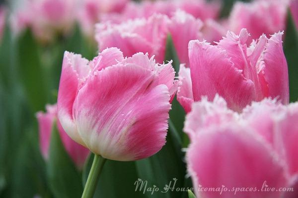 tulipshow01