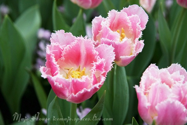 tulipshow02