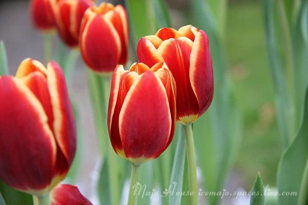 tulipshow03