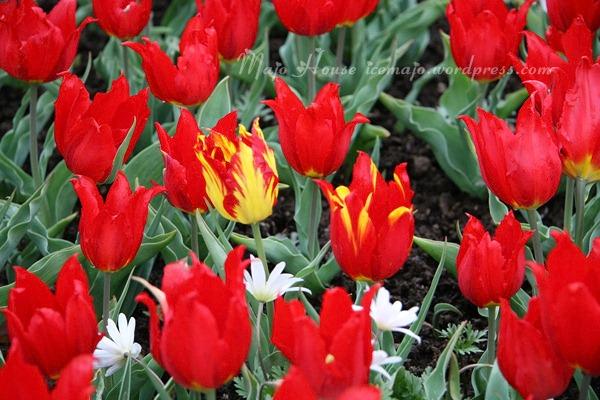 tulipshow04