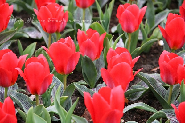 tulipshow06