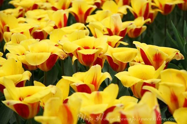 tulipshow07