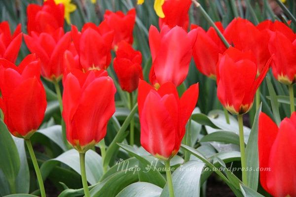 tulipshow08