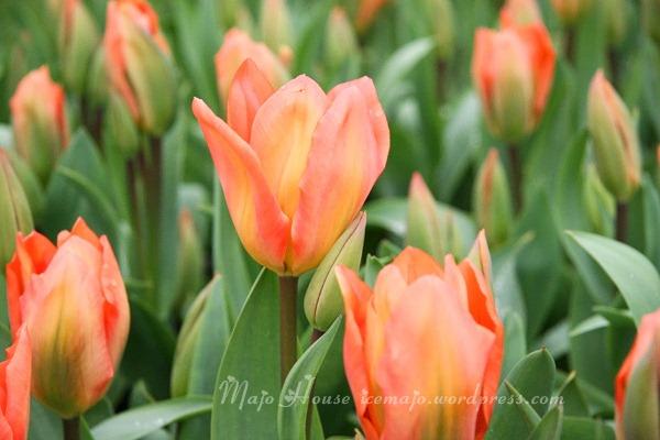 tulipshow09