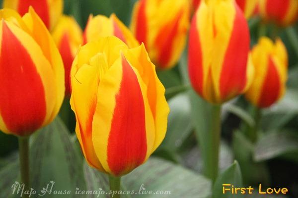 tulipshow10