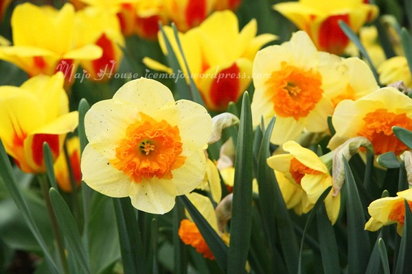 tulipshow11
