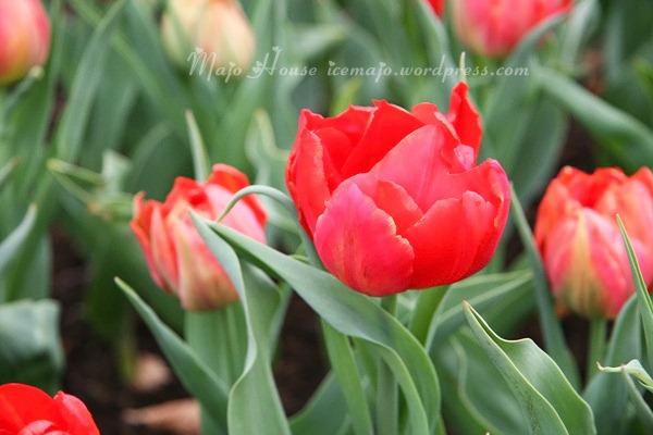 tulipshow12