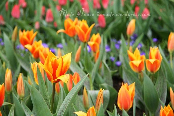 tulipshow13
