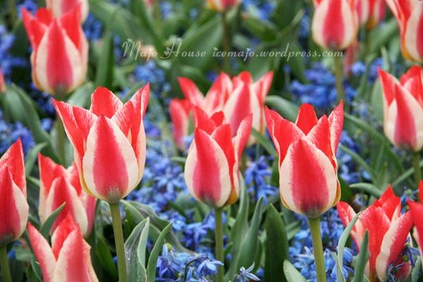 tulipshow16