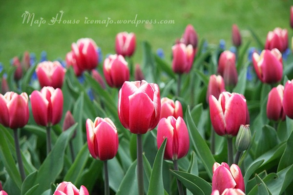 tulipshow17