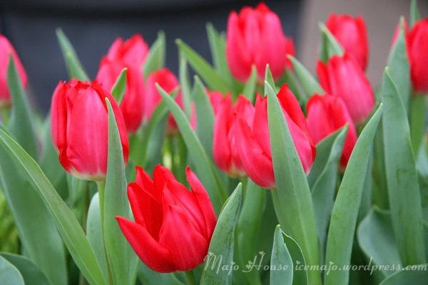 tulipshow18