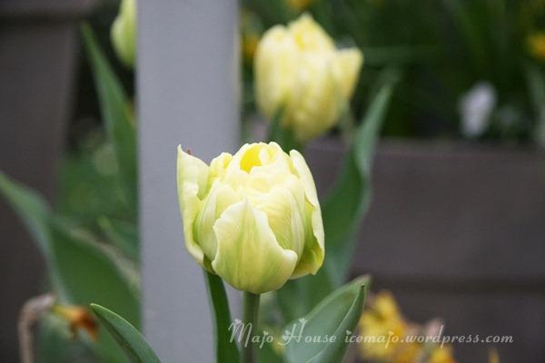 tulipshow19