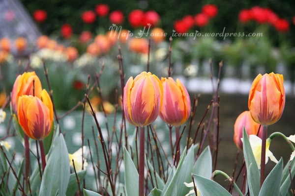tulipshow21
