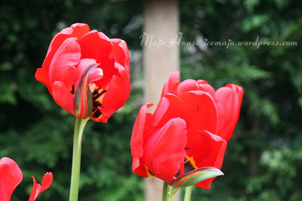 tulipshow22