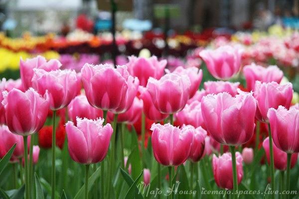 tulipshow23
