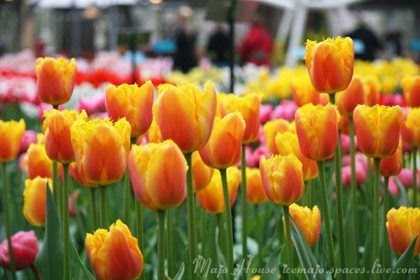 tulipshow24
