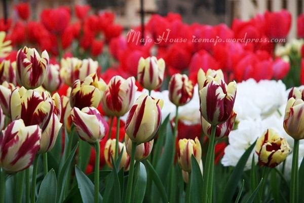 tulipshow25