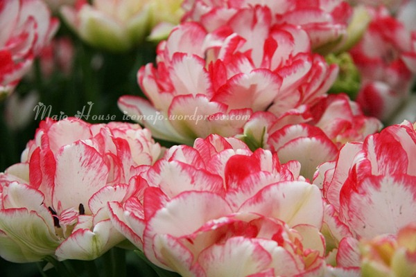 tulipshow26