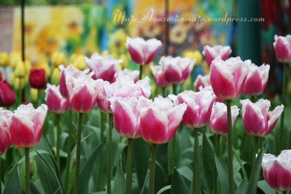 tulipshow27