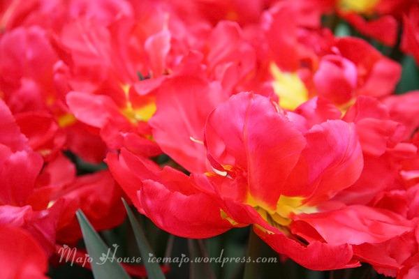 tulipshow28