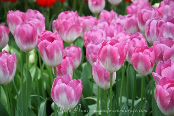 tulipshow29