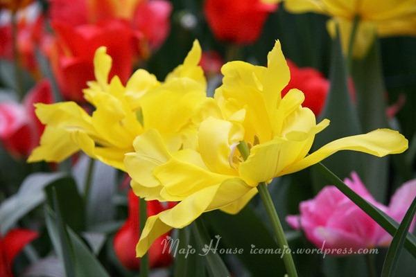 tulipshow30