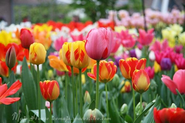 tulipshow31
