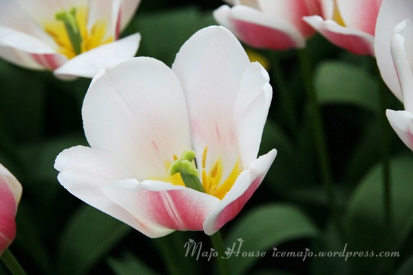 tulipshow32