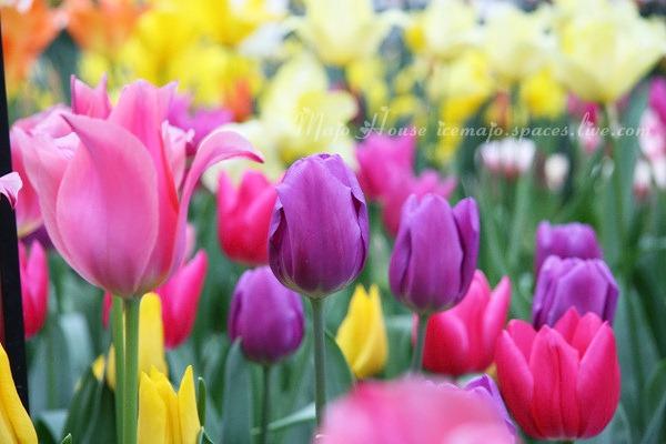 tulipshow33