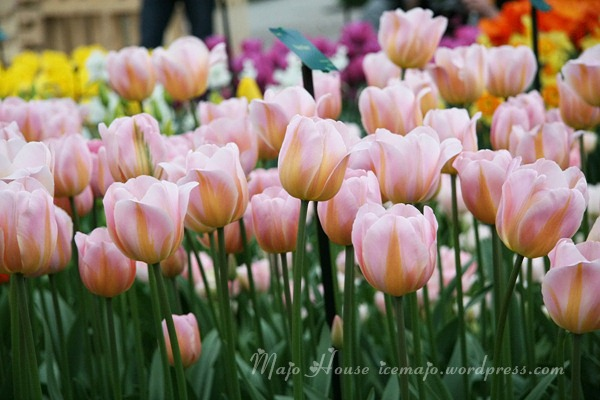 tulipshow34
