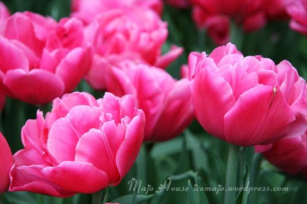 tulipshow35