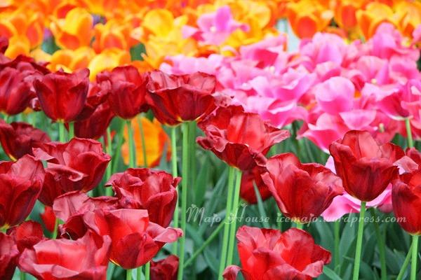 tulipshow36