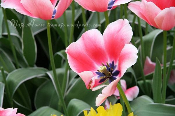 tulipshow37