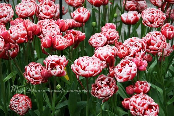 tulipshow38