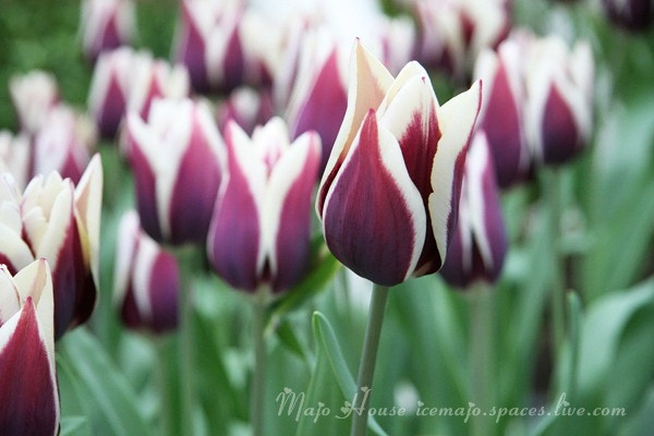 tulipshow39