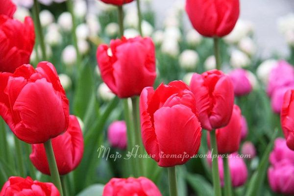 tulipshow40