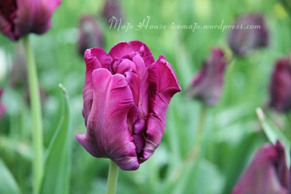 tulipshow41