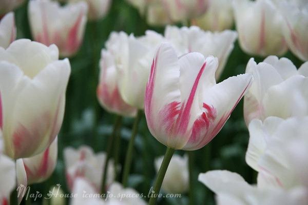 tulipshow42