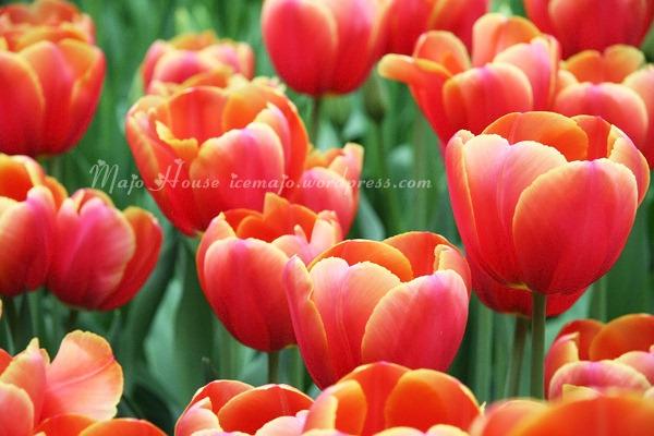 tulipshow43