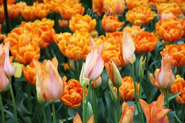 tulipshow44