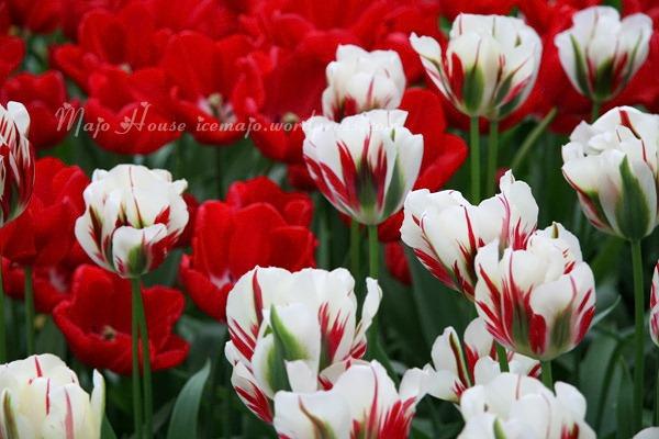 tulipshow45