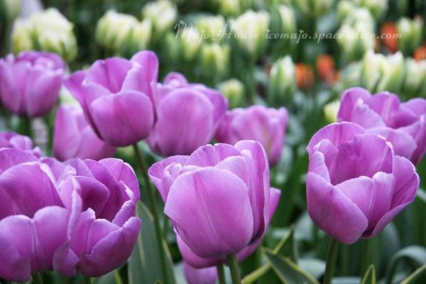 tulipshow46