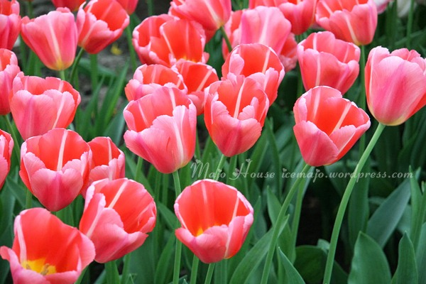 tulipshow47