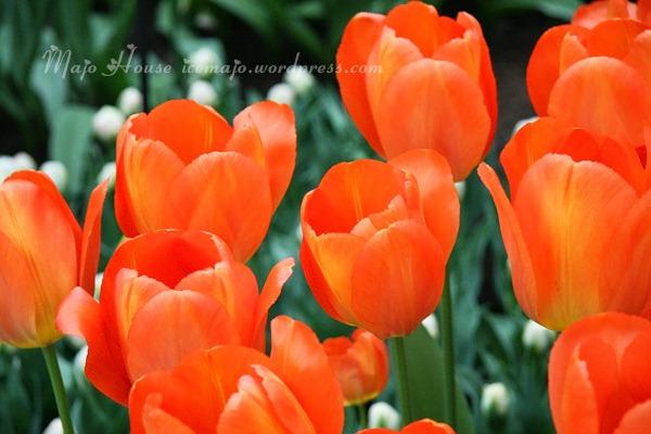 tulipshow48