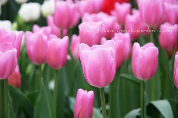 tulipshow50