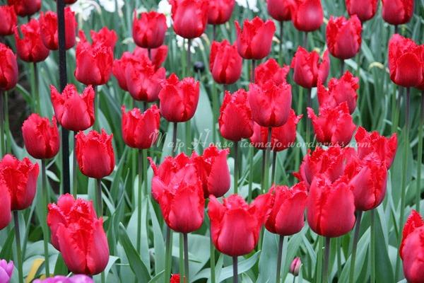 tulipshow51