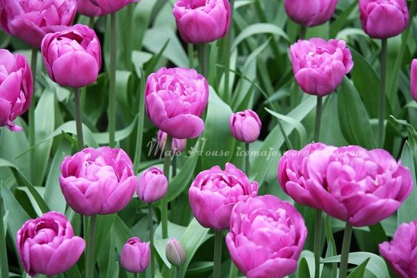 tulipshow52