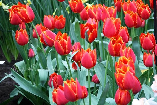 tulipshow53