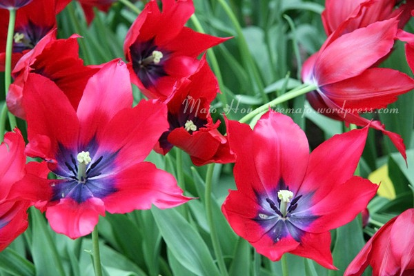 tulipshow54