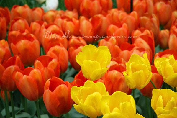 tulipshow55